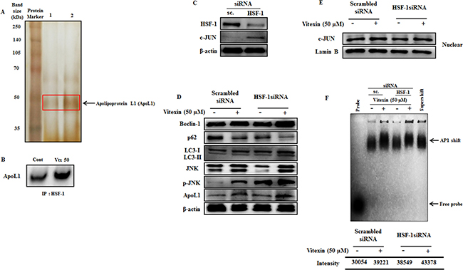 Vitexin promotes induction of JNK and BH3-only protein ApoL1 in HSF-1 knockdown cells.