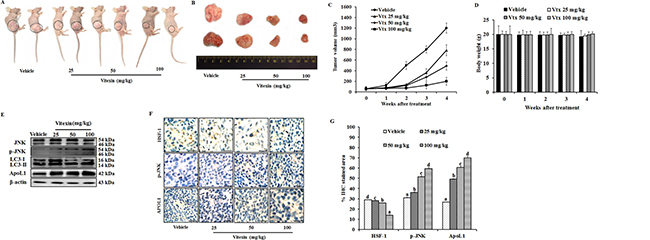 Vitexin inhibits growth of human colorectal xenograft in vivo.