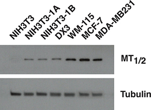 MT1/2 receptors expression in different cell lines.