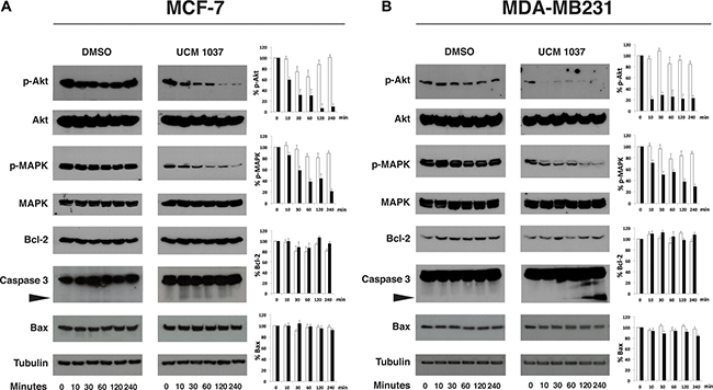 Time course of protein expression in UCM 1037 breast cancer treated cells.