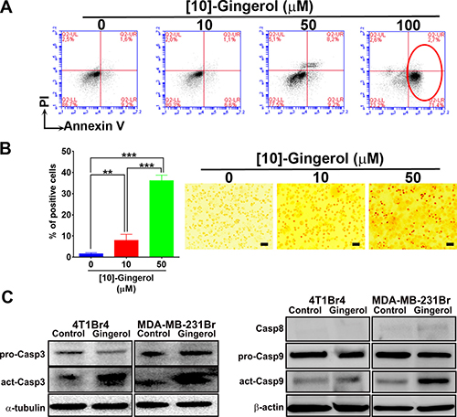 [10]-gingerol induces concentration-dependent apoptosis in metastatic TNBC cells in vitro.