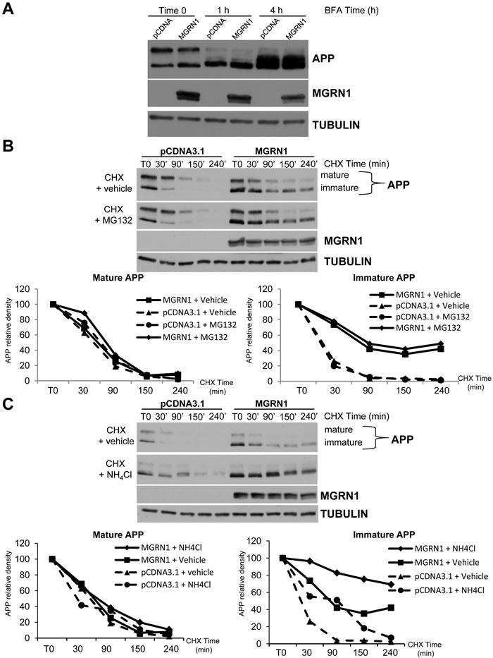 MGRN1 inhibits nonlysosomal degradation of APP.