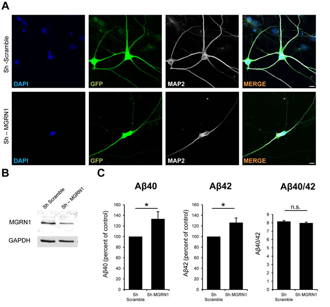 MGRN1 knockdown increases Aβ secretion in neurons.
