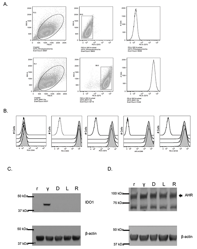 IDO and AHR expression in resting and IFN-γ-stimulated MSC treated with 1MT.