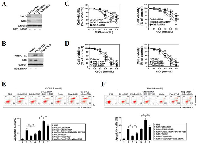 CYLD confers OS-initiated apoptosis via inhibiting NF-κB transactivation.