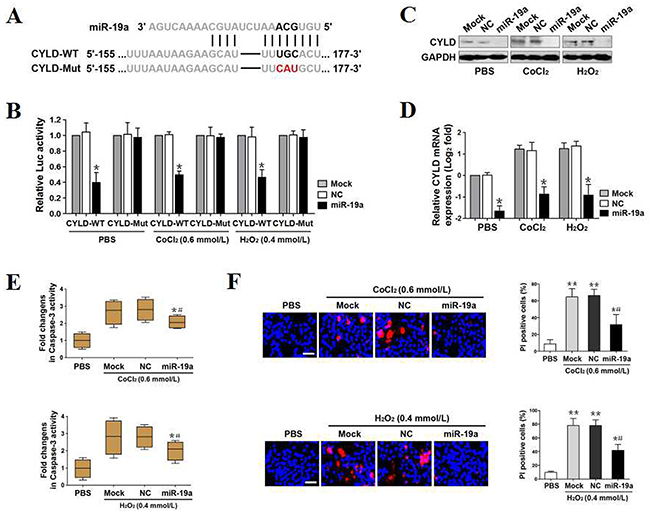 MiR-19a directly targets CYLD and antagonizes OS-initiated apoptosis.