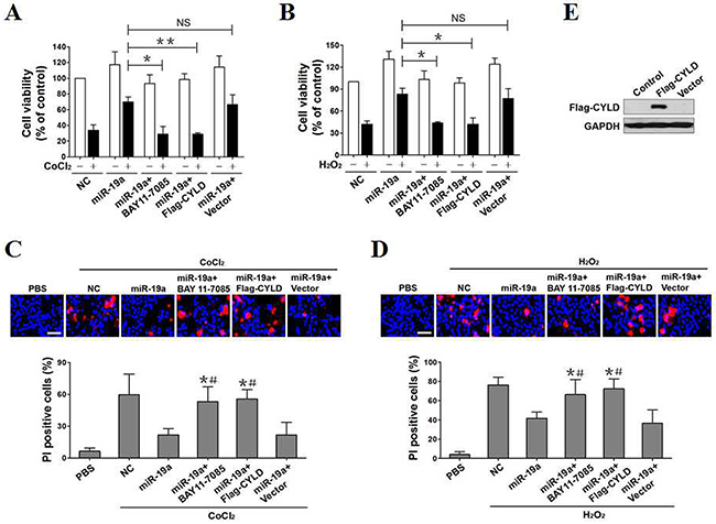 CYLD repression and NF-κB transactivation promotes the resistant phenotypes of miR-19a in OS-initiated apoptosis.