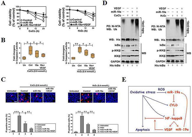 MiR-19a functions as a potential therapeutic target for cell survival under OS.