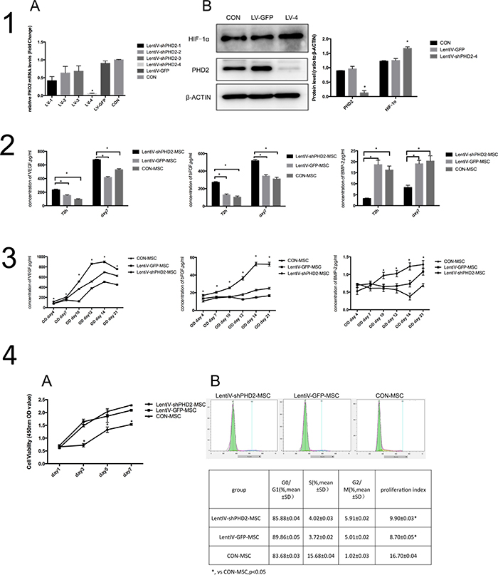 Biological behaviors of BMMSCs after PHD2 gene silencing in vitro.