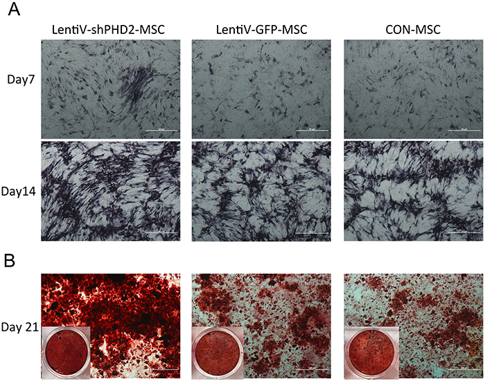 Alkaline phosphatase and alizarin red staining during the osteogenic induction.