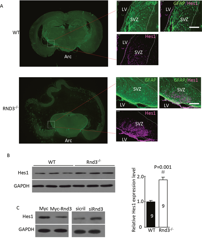Rnd3 knockout activated Notch signaling, and Rnd3 overexpression inhibited Notch signaling.