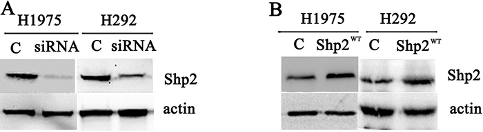 Transfection of Shp2 siRNA and Shp2WT cDNA decreased and increased cellular Shp2 expression, respectively.