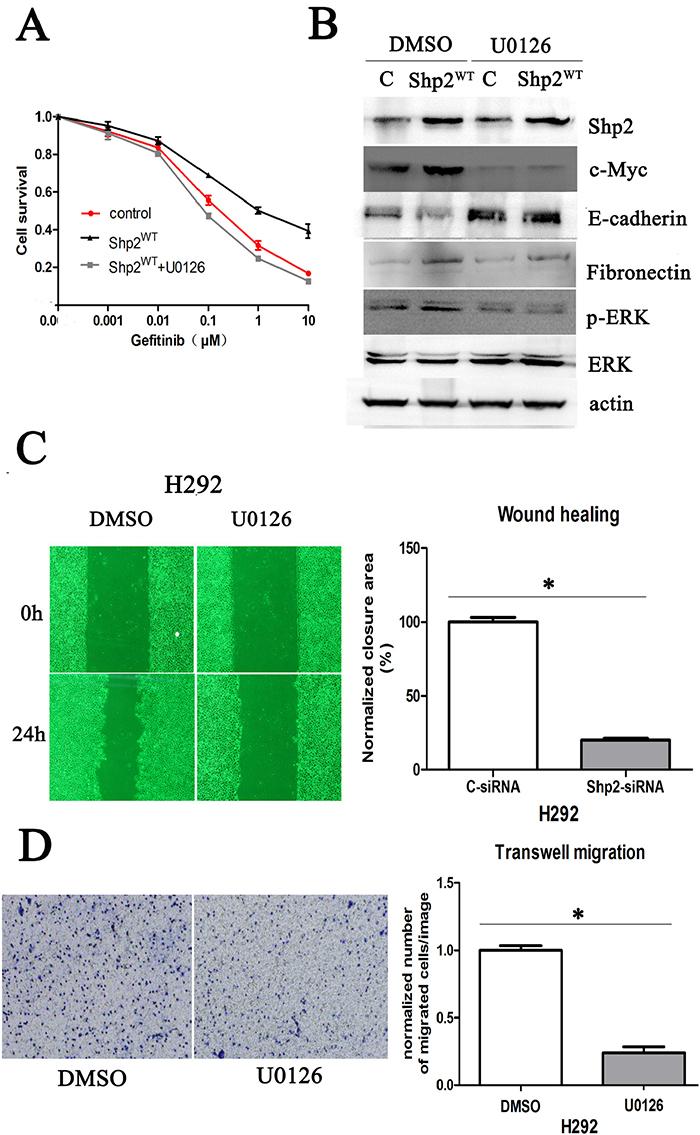 Shp2 promotes c-Myc expression and EMT through Ras/MAPK signaling.