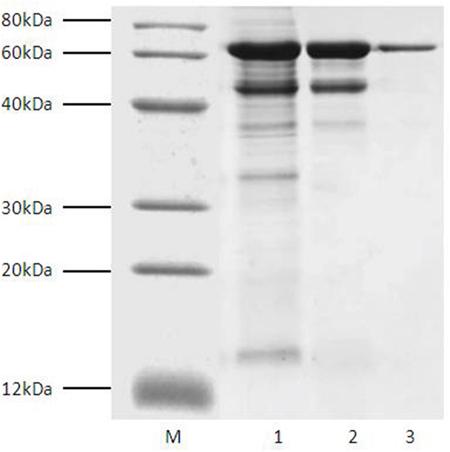 SDS-PAGE analysis of fractions during Tα1-HSA purification. Lane M, marker; Lane