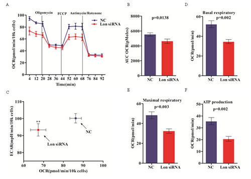 Inhibition of mitochondrial respiration in Lon knockdown bladder cancer cells.