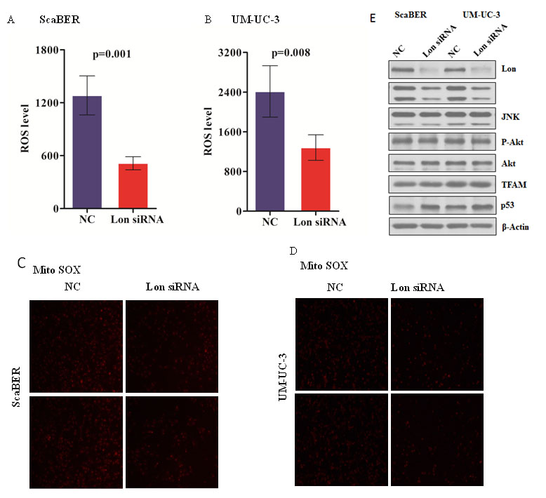 Down-regulation of Lon decreased mitochondrial ROS production as well as c-Jun N-terminal kinases (JNK) activation.