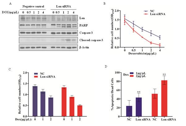 Lon depletion enhances chemosensitivity of bladder cancer cells by facilitating caspase-dependent apoptosis.