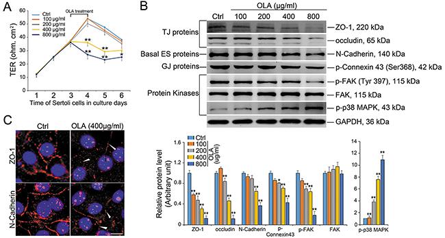 OLA perturbs Sertoli cell BTB function.