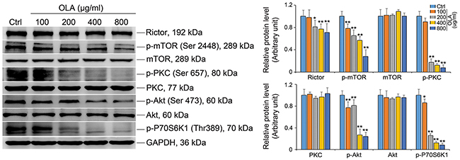 OLA attenuates mTORC2 complex activity.
