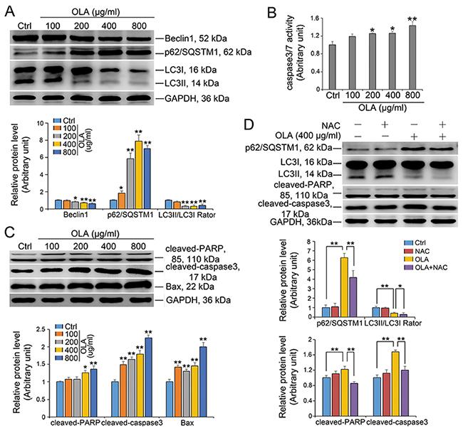 OLA inhibits autophagic flux and induces apoptosis.