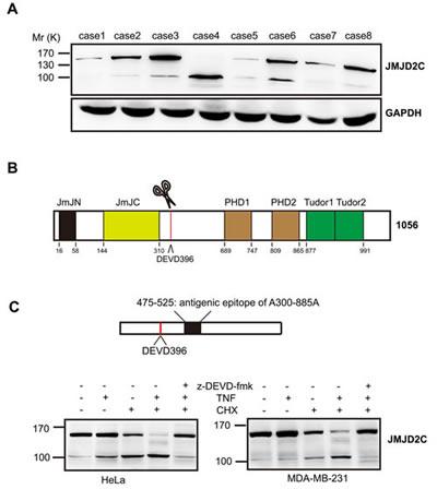JMJD2C is cleaved by caspase-3-like protease.