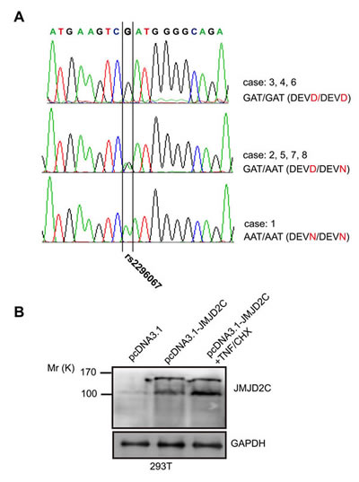 The JMJD2C D396N polymorphism in potential caspase-3-like protease cleavage site.