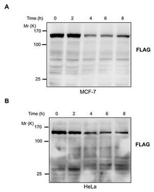 JMJD2C is cleaved at DEVD396G motif by caspase-3.