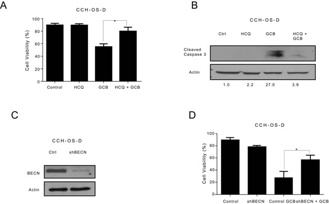 Inhibition of autophagy decreases the sensitivity of CCH-OS-D osteosarcoma cells to gemcitabine (GCB)-induced cytotoxicity.