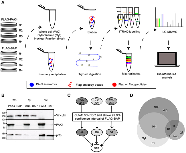Identification of the PAK4 interactome by quantitative mass spectrometry.