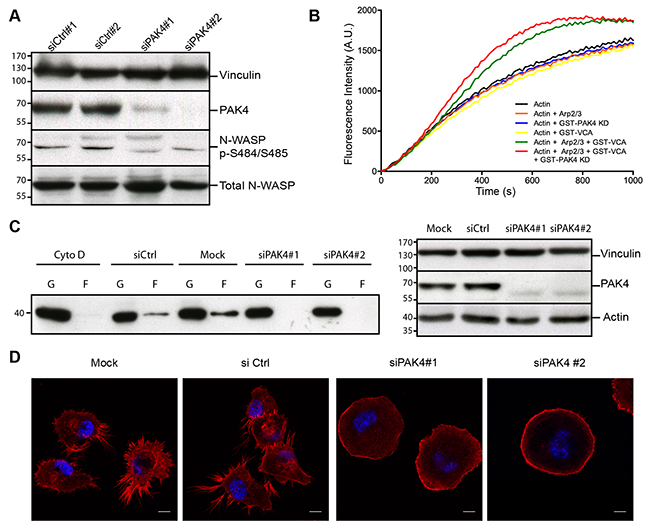 PAK4 promotes actin polymerization and alters cellular actin organization.