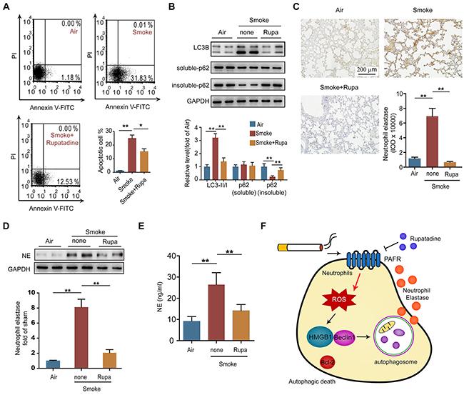 Rupatadine suppresses autophagic death of neutrophil in CS exposed mice.