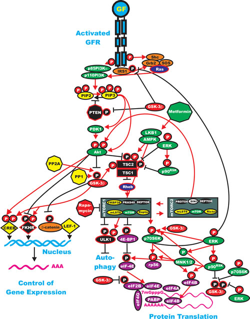 Interactions of GSK-3 with the Ras/PI3K/PTEN/Akt/mTOR and Ras/Raf/MEK/ERK Pathways.