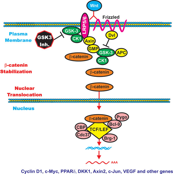 Wnt/beta-catenin Induced Gene Expression is Modulated by GSK-3.