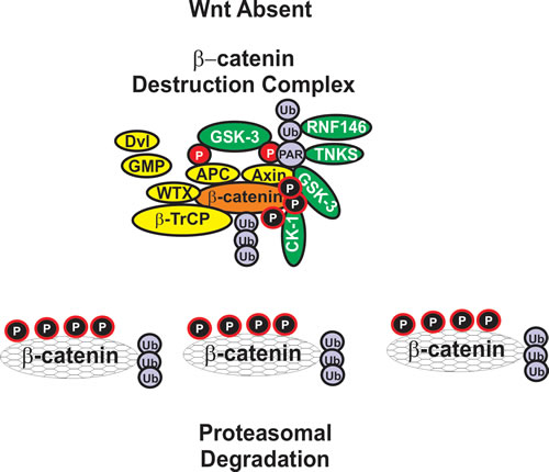 Formation of beta-catenin Destruction Complex.