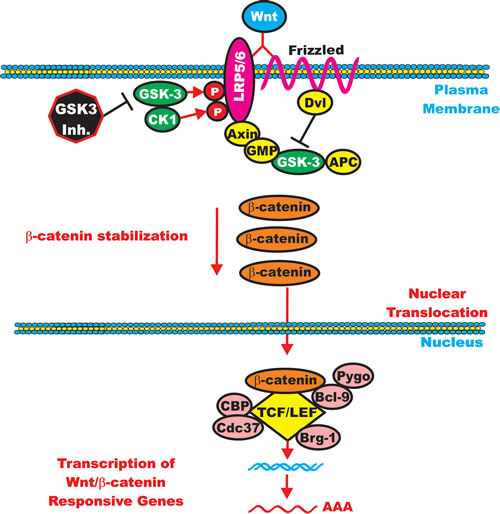 GSK-3 can Enhance Wnt/beta-catenin signaling.