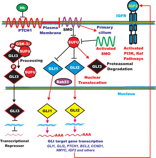 Overview of Hedgehog Signaling Pathway.