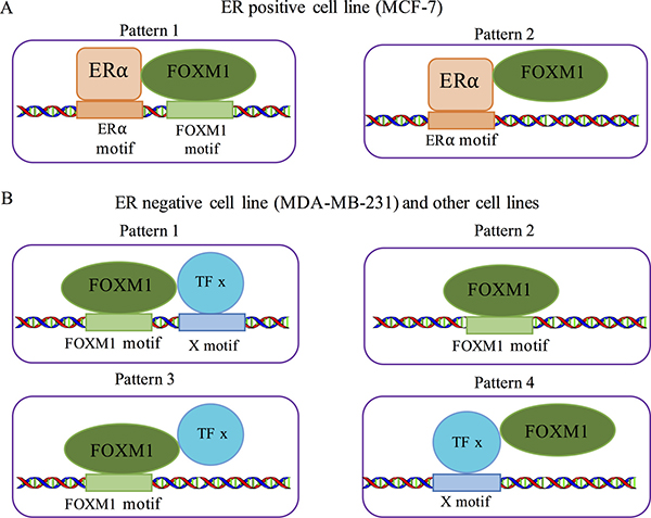 Co-binding patterns for FOXM1 in different cells.
