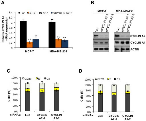 Cyclin A2 mRNA and protein abundance in cyclin A2 siRNA-transfected MCF-7 and MDA-MB-231 cells.