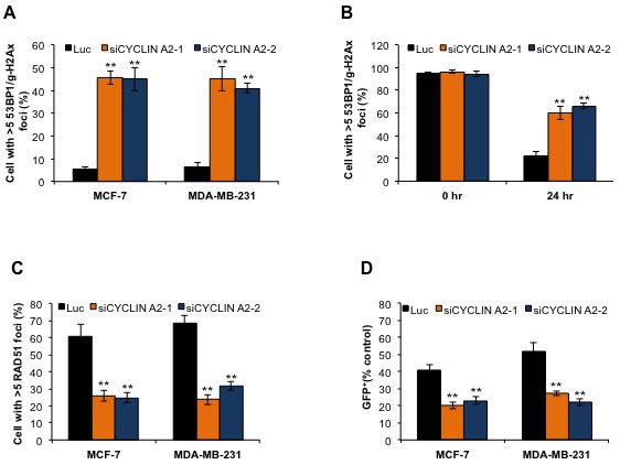 Cyclin A2 depletion induces DNA double-strand breaks and defects in HR repair.