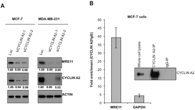Cyclin A2 interacts with MRE11 mRNA and loss of cyclin A2 reduces MRE11 abundance.