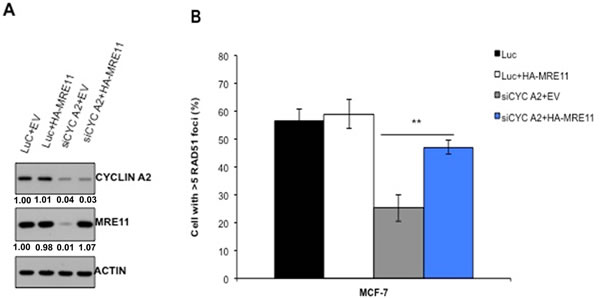 Restoration of MRE11 expression in cyclin A2 depleted cells corrects defect in HR repair.