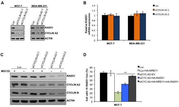 Cyclin A2 depletion causes decrease in RAD51 abundance.