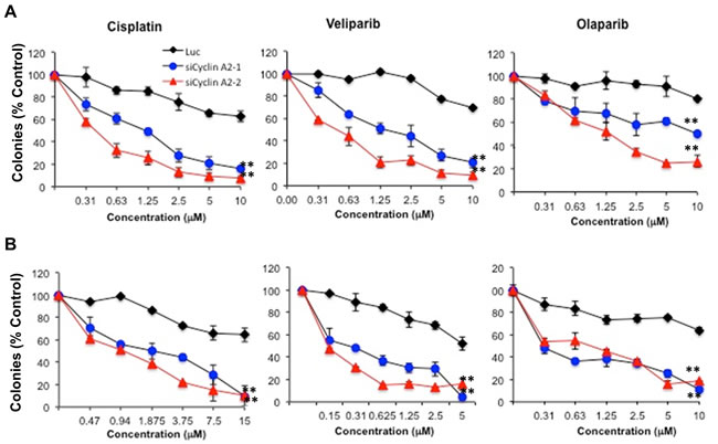 Sensitivity of cyclin A2 depleted MCF-7 and MDA-MB-231 cells to DNA damaging agent and PARP inhibitors.