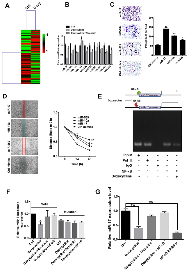 miR-17 promotes tumor progression, and NF-κB directly promotes expression of miR-17.