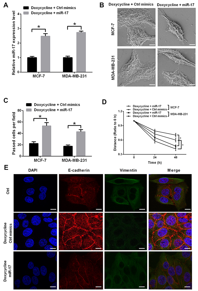 miR-17 induces EMT and counteracts partial inhibitory effect of doxycycline on MCF-7 and MDA-MB-231 cells.