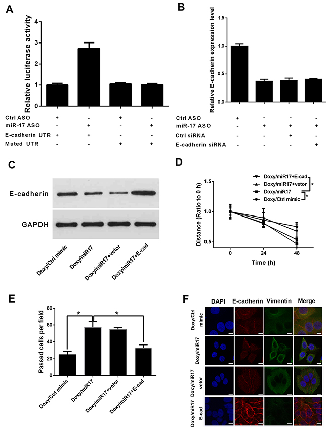 Oncotarget | Doxycycline inhibits breast cancer EMT and