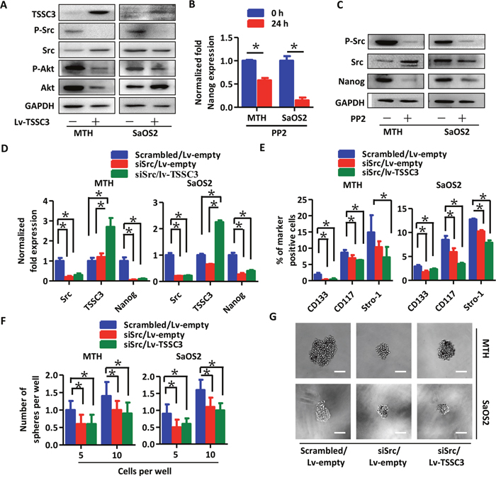 TSSC3 inhibition of Nanog expresssion is mediated by Src.