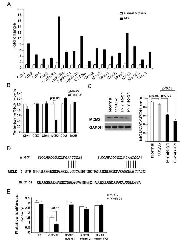 MCM2 is a direct target gene of miR-31.