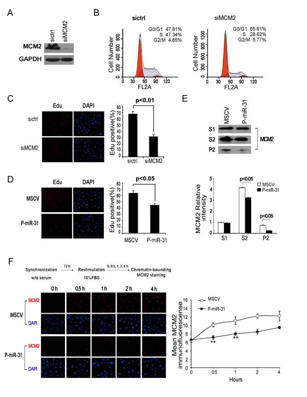MiR-31 regulates MCM2 function at the DNA replication origin.