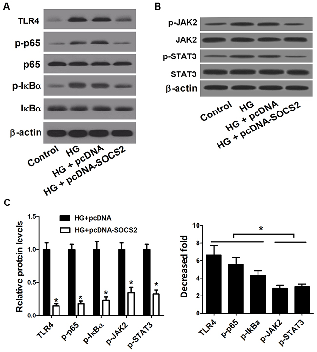 Effect of SOCS2 overexpression on the TLR4/NF-κB pathway and the JAK/STAT pathway in HG-stimulated podocytes.